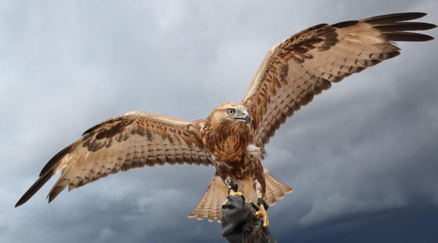 Falke mit weit gestreckten Flügeln