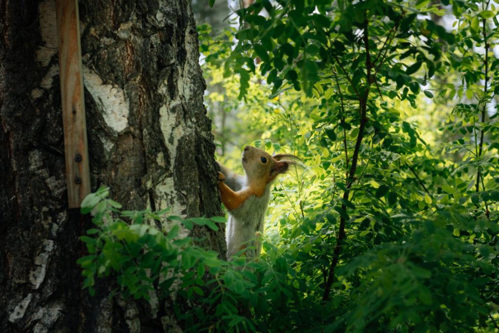 Eichhörnchen klettert eine Birke hoch