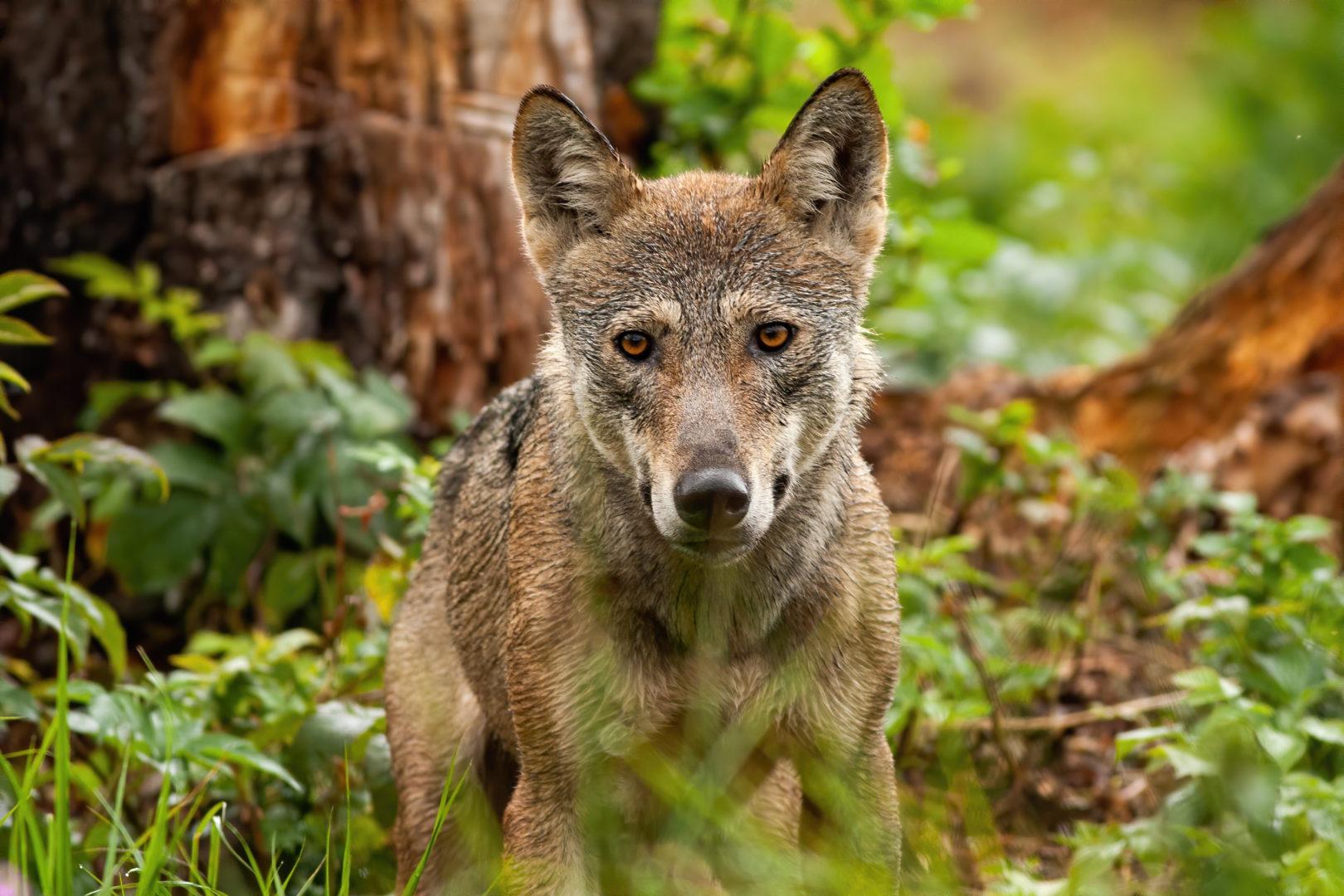 Grauer Wolf im Wald