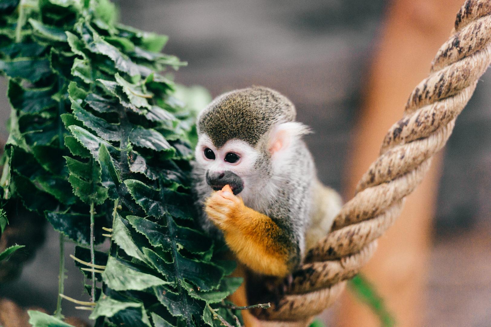 Nahaufnahme eines essenden Affens