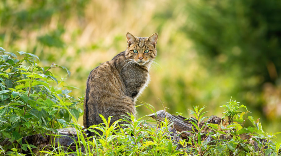 Wildkatze im Grünen