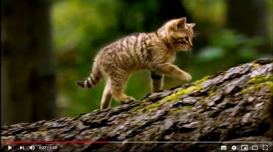 Wildkatzen in der Wildtier- und Artenschutzstation Sachsenhagen