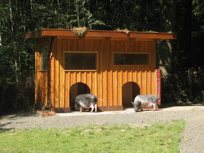Schweine erkunden ihr neues Heim