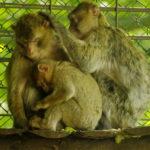 Berberaffe Cloe Tierpark Neumünster