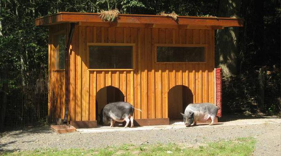 Schweine Stall